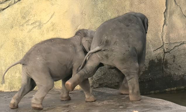 Elephant filmed as he tries to push his brother into a swimming pool
