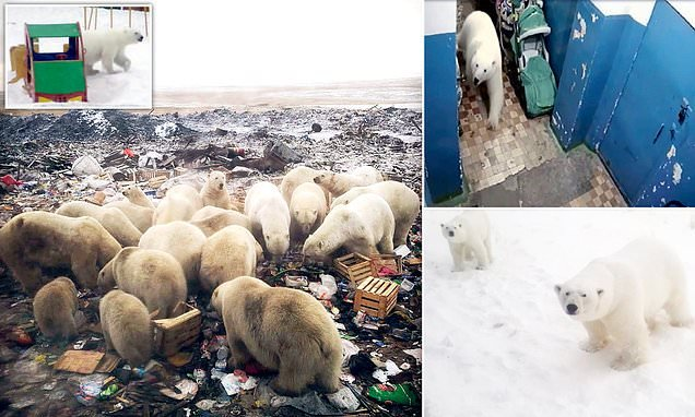 Russia vows not to shoot dozens of polar bears terrorising Arctic town
