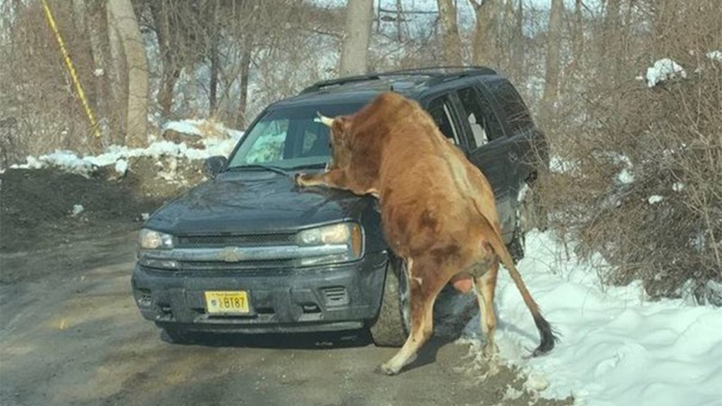New Jersey police shoot, kill bull attacking owner after it pounced on patrol vehicle: report