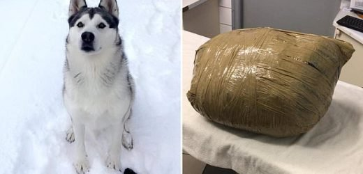 Dog sitters give owner her dead husky wrapped up in duct tape