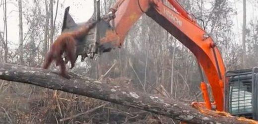 Sir David Attenborough Climate Change: Orangutan FIGHTS bulldozer as home is destroyed