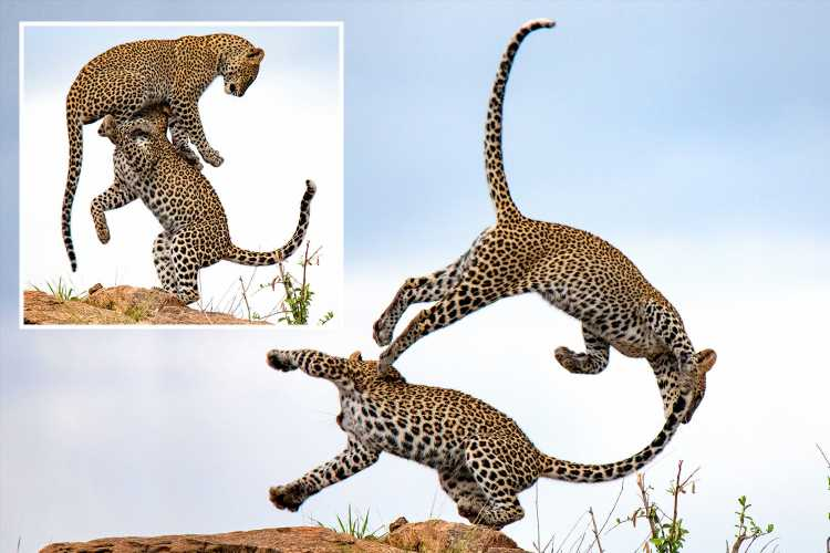 These young leopards end up in a tailspin during some family fisticuffs – The Sun