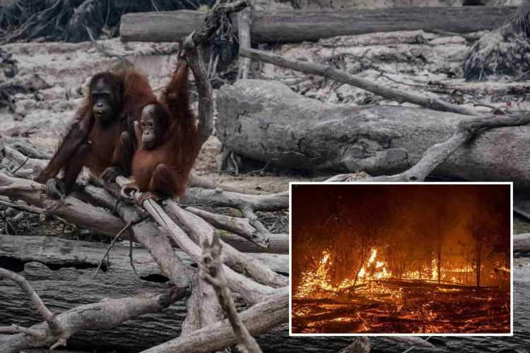 Heart-breaking images show endangered orangutans in charred remains of their home after greedy farmers start illegal fires – The Sun